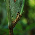 Insekt in Raupennetz