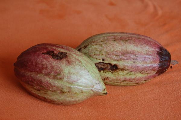 Kakaofrüchte aus Sri Lanka