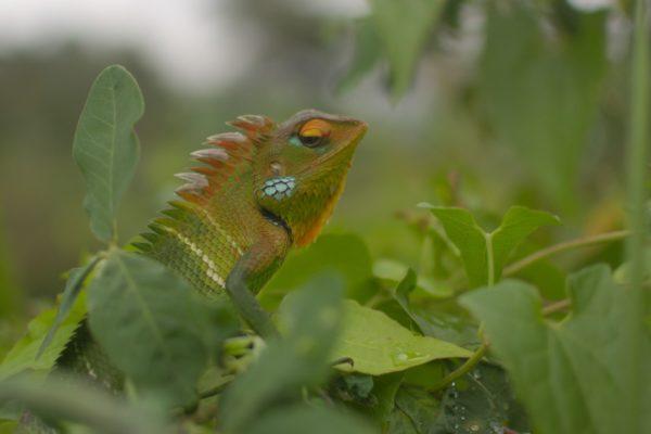 Sägerückenagamen, Sinharaja Rainforest