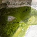 Wasser mit Kaulquappen