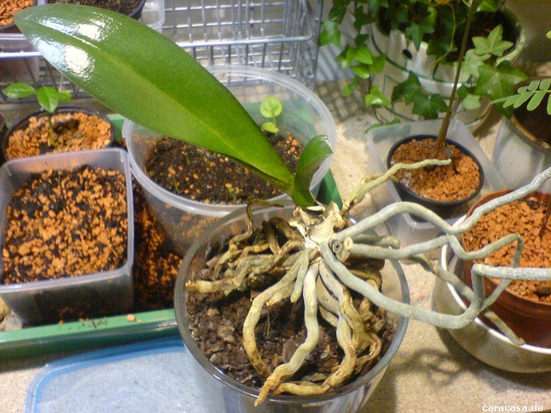 orchidaceae phalaenopsis orchidee. Black Bedroom Furniture Sets. Home Design Ideas